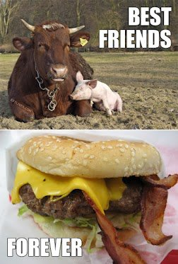 Pig and bull are friends
